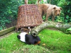 Meeschweinchengehege