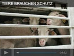Gefangene Kühe im Tiertransport